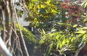 A partial glimpse through a dense cyprus and bamboo hedge and fence of the rear of the Bateau Lavoir buildings from the Burq Gardens.