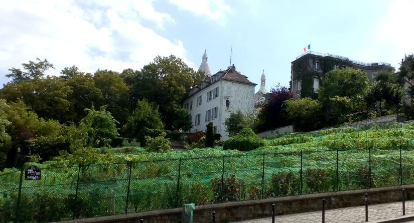 The vineyard is enclosed by a high fence, the vines themselves are protected by netting. The site on the northern side of Montmartre hill descends steeply from left to right. In the background is a large white house. It is the site of the Montmarte Museum. In the foreground is the steep Rue des Saules.
